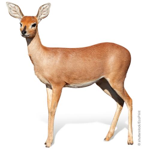 Nicht verwandt: Ein Dondoro und unsere Rhodesian Ridgeback Hündin Lila