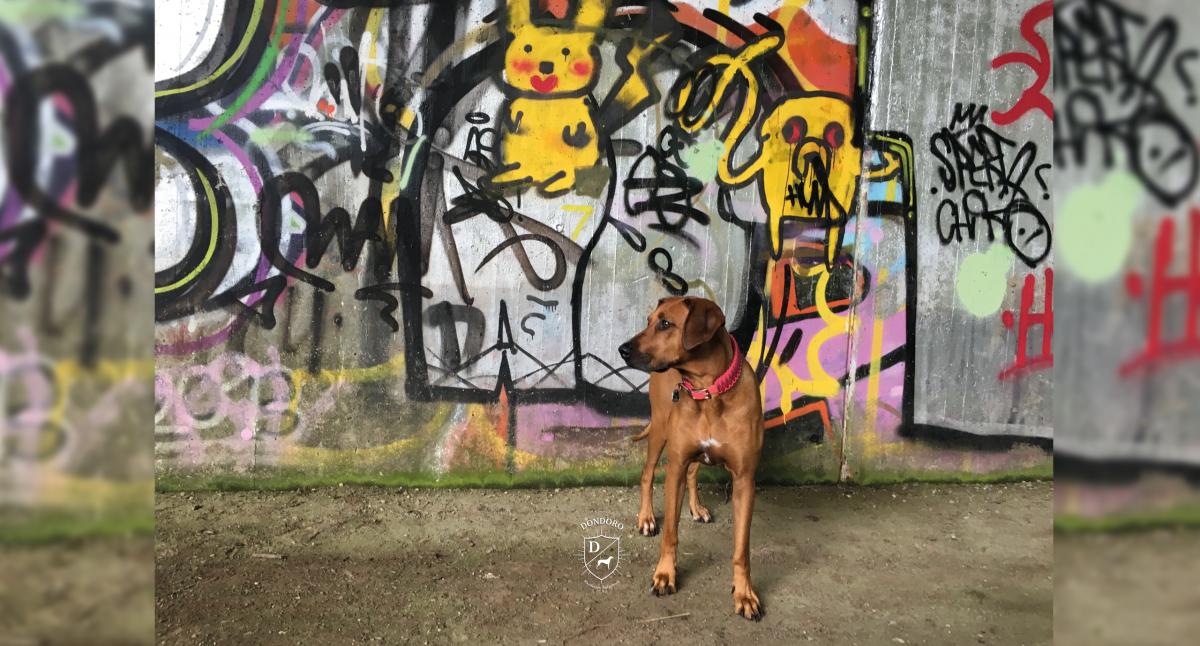 Rhodesian Ridgeback Siegburg Wakati Mzuri Rhein Graffiti Pokemon