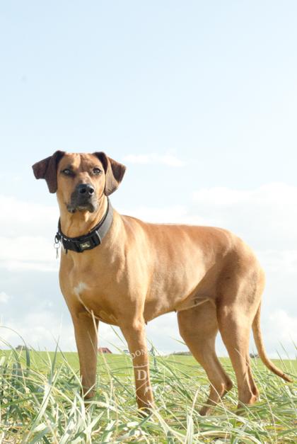 Rhodesian Ridgeback Norddeich Ostfriesland Hundestrand