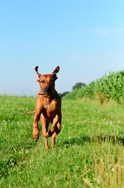 Rhodesian Ridgeback Rennen Spaß Laufhund