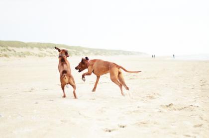 Rhodesian Ridgeback Spielen Rennen Sand Strand Texel Schwester