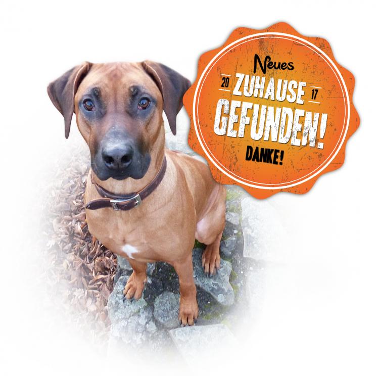 Rhodesian Ridgeback Zucht VDH DZRR RRCN Neues Zuhause gesucht Tiervermittlung Tierheim Rassehund